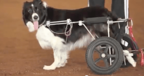 Zip is unstoppable, even after an accident left her a paraplegic