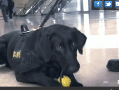 Bomb sniffing dogs being put to the test at airports