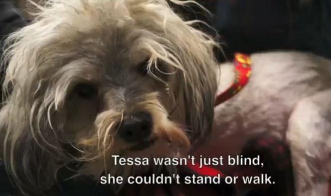 Tessa's Rescue and Rehab – A Blind Dog Who Couldn't Walk