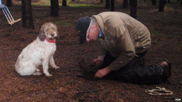 Dogs detecting delicacies in Oregon