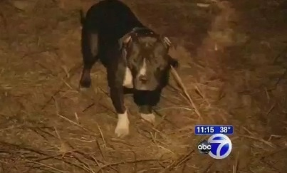 Pit Bull Saves Elderly Woman from Frosty Death
