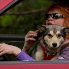Illinois Bill Aims to Ban Dogs Behind the Wheel