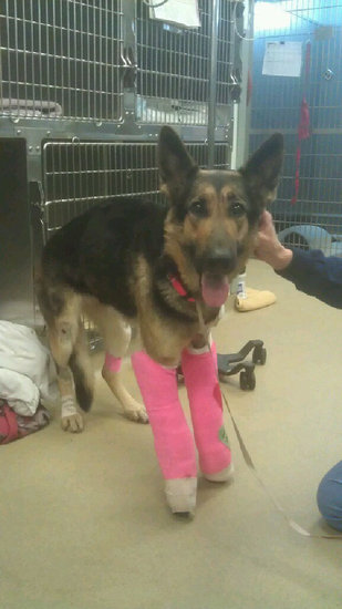 UPDATE ON LINDEY:  Dog Thrown from Bridge Receives $15,000 in Donations