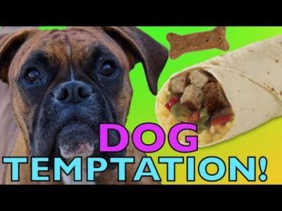Brock the Boxer : DOG TEMPTATION!