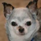 Teddy – A Puppy Mill Survivor