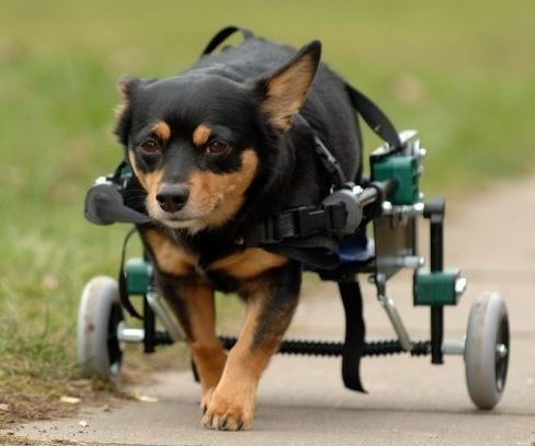 Mojo: Dog With Spinal Injury Gets New Lease on Life With Wheels