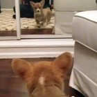 The Saturday Pet Blogger Hop: Corgi Puppy Sees Herself for the First Time