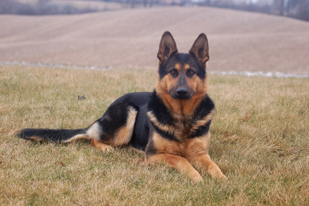 German Shepherd Saves Owner from Suicide Attempt