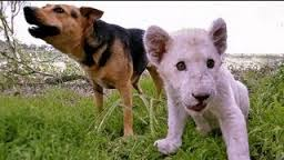 Dog Forms Special Friendship with Rare White Lion