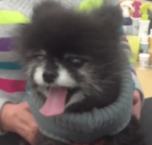Groomer Performs Life-Saving CPR on Collapsed Pomeranian