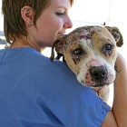 63 Pit Bulls Rescued from Dog-Fighting Compound