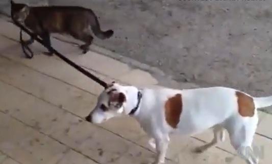 Cat Walks Dog
