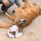 Dog Adopts Lamb after Its Mother Dies