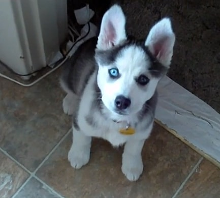 "The Saturday Pet Blogger Hop: Talking Husky Puppy Says ""I love you."""