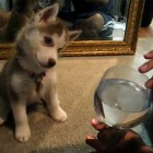 The Saturday Pet Blogger Hop: Siberian Huskies and the Infamous Wine Glass