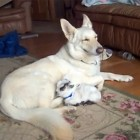 The Saturday Pet Blogger Hop: German Shepherd and Her Pygmy Goat Baby