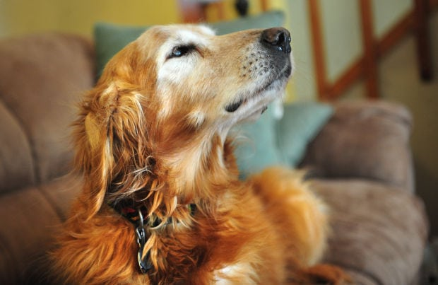 Golden retriever with expensive taste eats $500 in cash