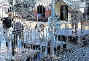 Spanish gangs steal dogs from shelters for dog fights