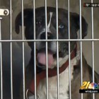 Dog Fighting Ring Busted in Philadelphia; Pit Bulls Rescued