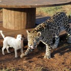 Jack Russell and Jaguar Are Best Friends