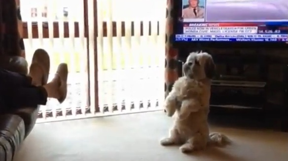 Adorable Lhasa Apso Begs for a Treat