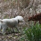 Family Dog Befriends Visiting Fawn