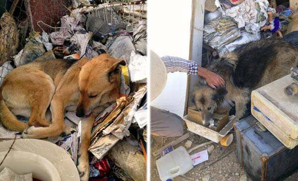 Neglected german shepherds abandoned in filthy yard. Neighbors step in to save them