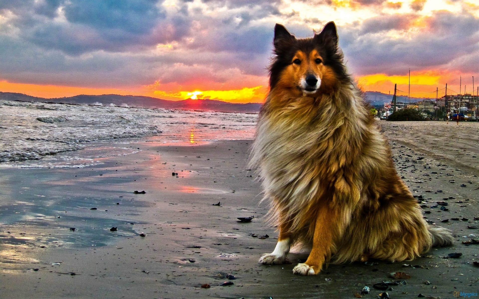 herding-dog-on-beach-at-sunset-232308