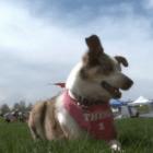 Three-Legged Frisbee Dog is an Inspiration