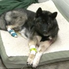 Dog Shot Protecting his Family Receives Surgery