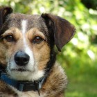 Dogs Offer Crucial Help in Developing Cure for Human Dementia