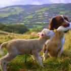 Dog Bottle-Feeds Lamb