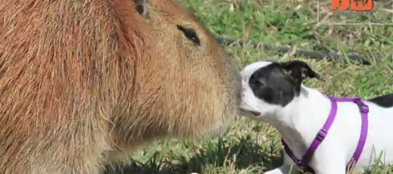 Life with Dogs… and Sometimes, Capybaras