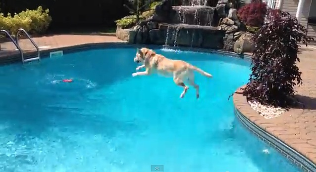 Lab Retrieves Towel & Leaps in the Pool
