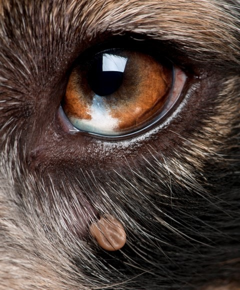 Dog eye with tick (Small)