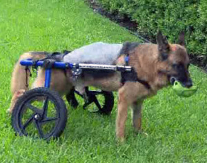 Paralyzed Dog Receives Stem Cell Treatment