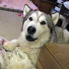 The Saturday Pet Blogger Hop: Grumpy Malamute Wants a Treat