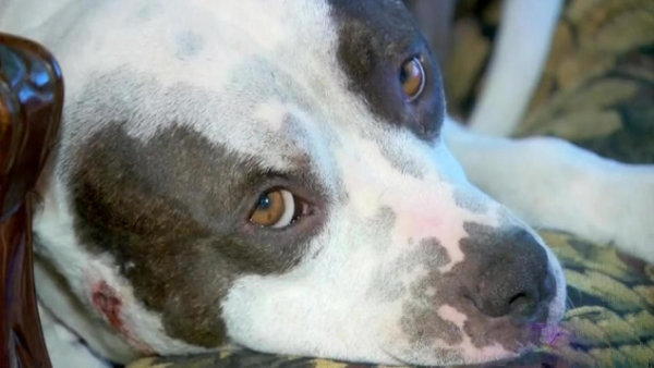 Kidnapped and Abused Dog Gets Reunited with Owner