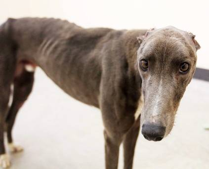 Mutilated Greyhound Recovers and Finds New Home