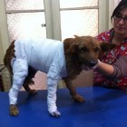 Chilean Dog Gorda Bella Receives Medical Attention
