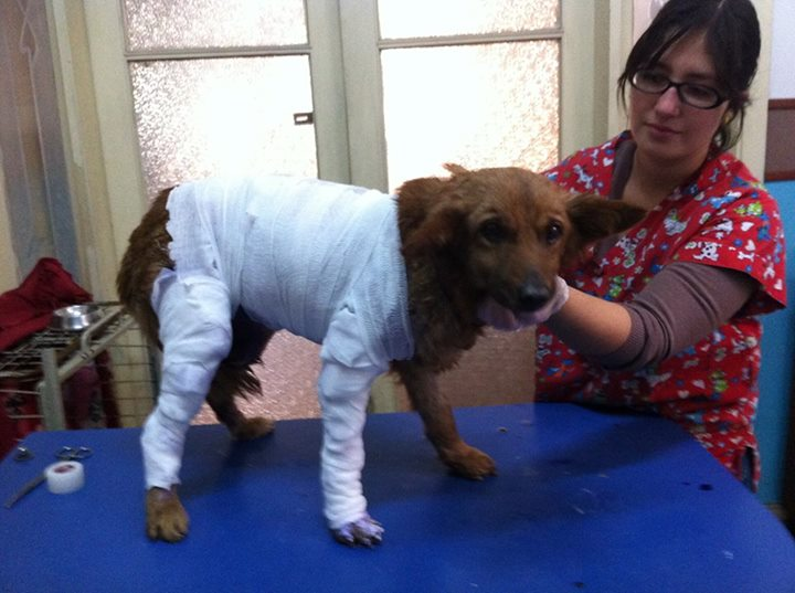 Chilean Dog Gorda Bella Receives Medical Attention