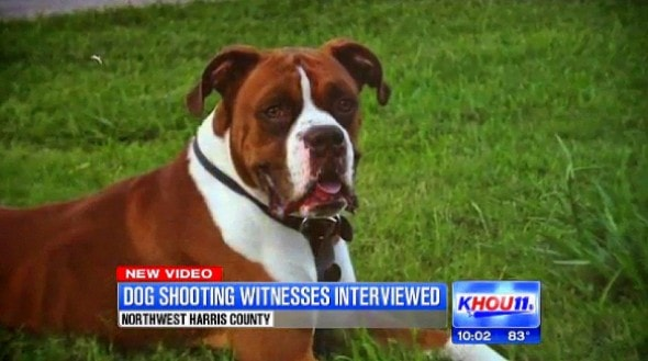 Gunner was shot in the neck by an off-duty Texas officer who claimed the boxer attacked him, his wife and his dog.  Twelve-year-old Dalton Fitzhenry says Gunner was just curious and sniffing the other dog when officer Mark Condon fired at point-blank range.