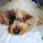 Dog Survives Rattlesnake Bite to the Eye