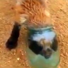 Russian Men Free Fox with Head Stuck in Jar