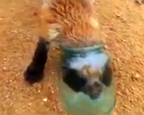Russian Men Free Fox with Head Stuck in Jar