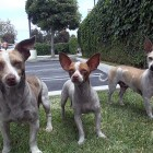 Marty, Brooklyn and Penny: Chihuahua rescue in South Central Los Angeles.