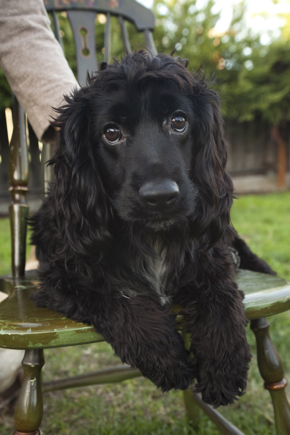 Cocker Spaniel With Cerebellar Hypoplasia Finally Finds Home