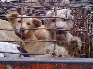 Documentary to Highlight the Secret Dog Meat Trade in Thailand