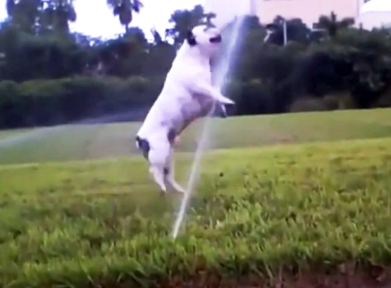 The Saturday Pet Blogger Hop: Dogs vs Sprinklers