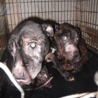 Court Sentences Dog Abusers Who Kept Pets Caged for 22 Hours a Day